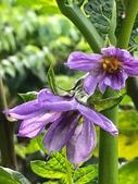 認識植物(61) 紫:紫光茄xx01.jpg