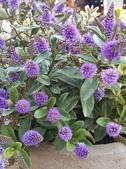 認識植物2.0 (59) 長:長階花xx04.jpg