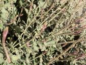 植物隨手拍 P:土牛膝 p4917.JPG