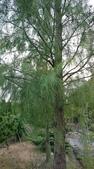 認識植物(70) 腰萬萱萼落葉葎葛葡葫葶蒂:落羽杉xx01.jpg