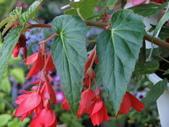 植物隨手拍 AD:垂絲海棠ad7409.JPG