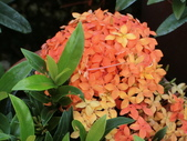 植物隨手拍 AG:矮粉仙丹花ag4425.JPG