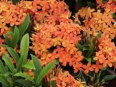 植物隨手拍 AG:矮粉仙丹花ag4422.JPG