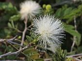 植物隨手拍 BP:白絨球bp1466.JPG