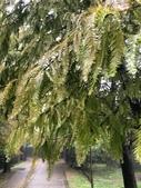 認識植物(70) 腰萬萱萼落葉葎葛葡葫葶蒂:落羽松xx07.jpg