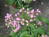 植物隨手拍 X:繁星花 x6092.JPG