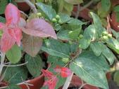 植物隨手拍 CJ:羅比梅cj1335.JPG