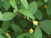 植物隨手拍 L:金午時花 L0729.JPG