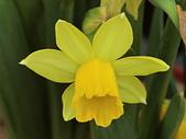 植物隨手拍 BP:西洋水仙bp1178.JPG