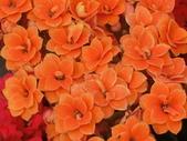 植物隨手拍 P:三色長壽花 p4771.JPG