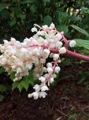 認識植物2.0 (59) 長:長柱鹿药xx03.jpg