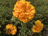 植物隨手拍 X:萬壽菊 x1837.JPG