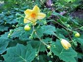 認識植物(65) 黃:黃山梅xx02.jpg