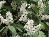 認識植物2.0 (21) 白:白丁香ee9558.JPG