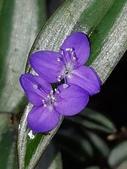 認識植物2.0 (25) 吊同向地多:吊竹梅xx03.jpg