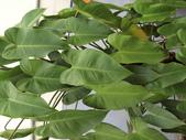 認識植物2.0 (67) 帝後恆扁:帝王蔓綠絨co7172.JPG
