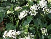 植物隨手拍 X:繁星花 x4322.JPG