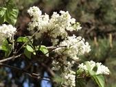 認識植物2.0 (21) 白:白丁香ee9947.JPG