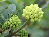 植物隨手拍 BP:白絨球bp1431.JPG