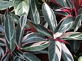 植物隨手拍 BP:彩虹竹芋bp2544.JPG