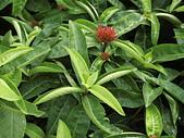 植物隨手拍 BW:大王仙丹bw5361.JPG