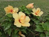 認識植物2.0 (28) 朱朴江池灰:朱槿 d5076.JPG