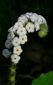 認識植物2.0 (31) 耳肉肋舌舟艾:耳鈎草xx01.jpg