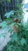 認識植物(70) 腰萬萱萼落葉葎葛葡葫葶蒂:葎草xx02.jpg
