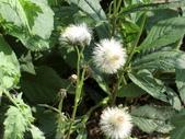 認識植物2.0 (69) 昭枯枳枸柃:昭和草 x9554.JPG