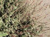 植物隨手拍 P:土牛膝 p4933.JPG
