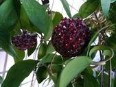 認識植物(66) 黑:黑毛棉德島毬蘭zz01.jpg