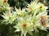 認識植物(68) 新椰椴楊楓極榆榔滇煉煙猿獅瑞:新娘花xx04.jpg