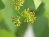 認識植物(70) 腰萬萱萼落葉葎葛葡葫葶蒂:葡萄cf1923.JPG