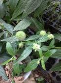 認識植物2.0 (25) 吊同向地多:吊球草xx02.jpg