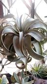認識植物2.0 (59) 長:長捲葉霸王空鳳xx01.jpg
