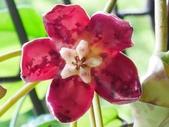 認識植物2.0 (67) 帝後恆扁:帝王毬蘭xx01.jpg
