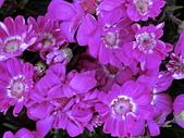 植物隨手拍 BD:瓜葉菊bd1566.JPG