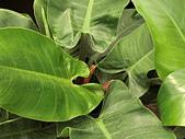 植物隨手拍 BP:綠鑽蔓綠絨bp5121.JPG