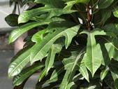 認識植物(58) 寒戟掌提散敦斐斑:戟葉變葉木cn2920.JPG