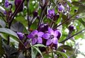 認識植物(66) 黑:黑王子辣椒xx01.jpg