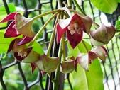 認識植物2.0 (67) 帝後恆扁:帝王毬蘭xx03.jpg