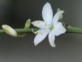 認識植物2.0 (25) 吊同向地多:吊蘭 o5276.JPG