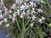 認識植物(70) 腰萬萱萼落葉葎葛葡葫葶蒂:萬代蘭dg0669.JPG