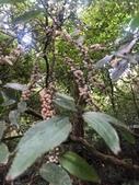 認識植物2.0 (59) 長:長梗紫麻xx02.jpg