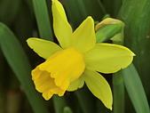 植物隨手拍 BP:西洋水仙bp1181.JPG