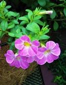 認識植物(70) 腰萬萱萼落葉葎葛葡葫葶蒂:萬鈴花xx01.jpg