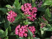 植物隨手拍 X:繁星花 x4323.JPG