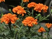認識植物(70) 腰萬萱萼落葉葎葛葡葫葶蒂:萬壽菊 x9082.JPG