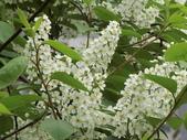 認識植物2.0 (21) 白:白丁香ee9559.JPG