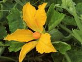 認識植物2.0 (63) 南:南瓜an5408.JPG